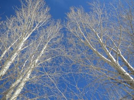 Snowmass, Colorado - Aspen Trees.