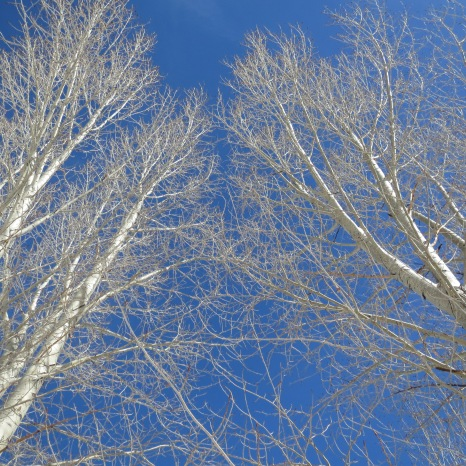 Snowmass, Colorado - Aspen Trees.