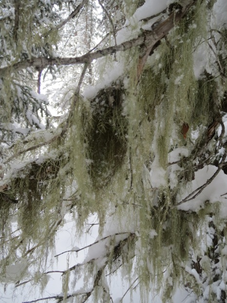 Snowmass, Colorado - Moss Growing on the Pines.