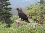 Golden eagle (subadult)