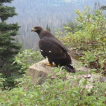 Golden eagle (subadult)